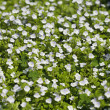 Stock Photo: Glade of white field flowers