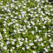 Glade of white field flowers — Stock Photo