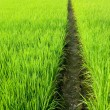 Path in Green field — Stock Photo #2832243