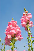 Yellow snapdragon flower under blue sky. — Foto de Stock