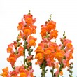 Isolated red snapdragon flower — Stock Photo