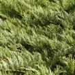 Stock Photo: Evergreen background