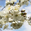Sour cherry flower — Stock Photo