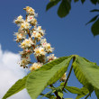 Horse chestnut. — Stock Photo