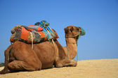 Camel in desert — Stockfoto
