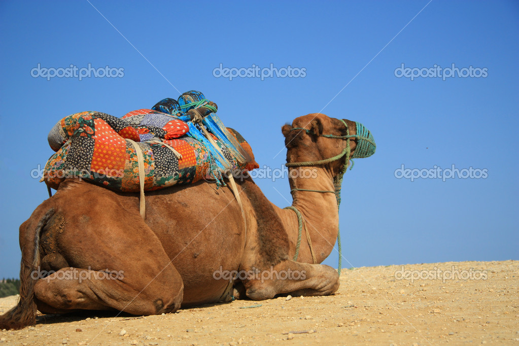Camel in desert, Tunisia, Sahara — Stock Photo #2917048