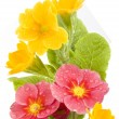 Royalty-Free Stock Photo: Yellow and red primrose