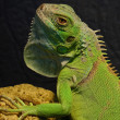 Portrait of iguanas — Stock Photo #2975424