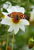 Motýl na bílý květ — Stock fotografie
