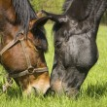 Couple of horses — Stock Photo #3092029