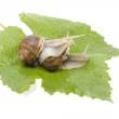 Snails make love in the studio — Stock Photo