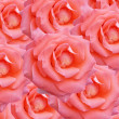 Pink roses texture — Stock Photo