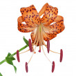 Tiger lily — Stock Photo #2748093