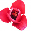 Stock Photo: red tulip&quot