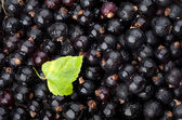 Black currant with drops of water and green leaf — Stock Photo