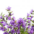 Bellflowers — Stock Photo