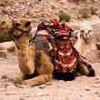 Two camels in desert - Stock Photo