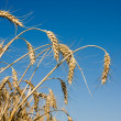 Closeup of Ripe wheat ears — Stock Photo