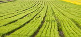 Rows of plants on cultivated — Stock Photo