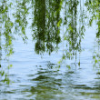 Green branches of a willow on the water - Stock Photo