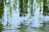 Green branches of a willow on the water — Stock Photo