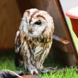 Tawny owl — Stock Photo #3633097
