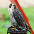 Falcon peregrine (Falco peregrinus) on a perch. — Stock Photo