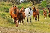 Mares with foals — Stock Photo