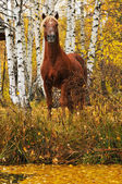 Chestnut stallion portrait in autumn — Stock Photo