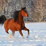 Bay arabian horse portrait — Stock Photo