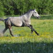 White Horse run on on a meadow — Stock Photo