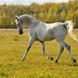 Stock Photo: White horse run trot on meadow