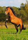 Bay horse stallion play on grass — Stock Photo