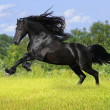 Stock Photo: Black friesian horse play on the meadow