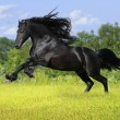 Stock Photo: Black friesihorse play on meadow