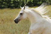 White horse run gallop on the meadow — Foto Stock
