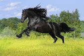Black friesian horse play on the meadow — Stock Photo