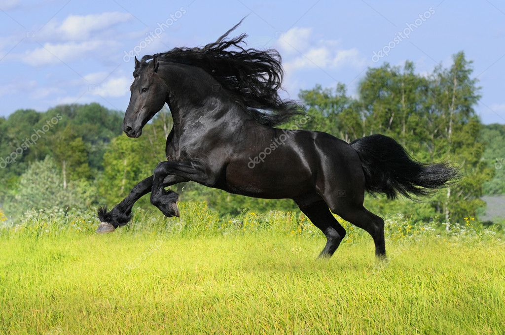 Friesian Horse Galloping Black Friesian Horse Play on