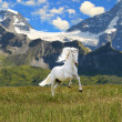 White horse run gallop in valley - Stock Photo