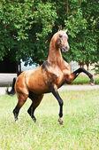Bay akhal-teke horse rearing — Stock Photo