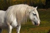 White horse in autumn — Stock Photo