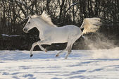 White horse stallion run gallop — Stock Photo