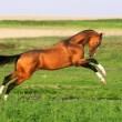 Golden akhal-teke horse runs gallop — Stock Photo
