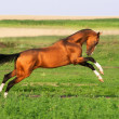 Stock Photo: Golden akhal-teke horse runs gallop