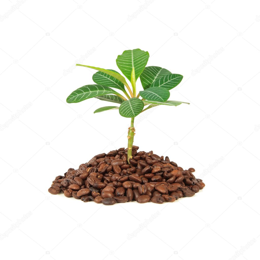 Growing coffee plant isolated on white background. — Stock Photo #2962635