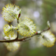 Blossoming willow - Stock Photo