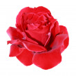 Scarlet rose — Stock Photo #3592552