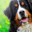 Bernese Mountain Dog portrait - Stock Photo