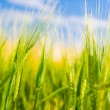 Wheat field. Agriculture - Stock Photo