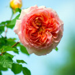 Red rose flower — Stockfoto
